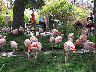 Flamingos im Calgary Zoo. © Drew And Merissa