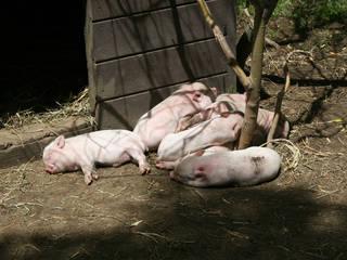 Schweinchen, die sich in der Sonne ausruhen © abbybatchelder