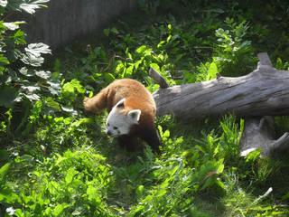 Mit diesem Roten Panda ist gerade nicht gut Kirschen essen. © kristiannordestgaard