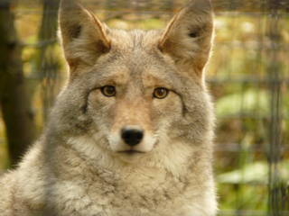 Wolf im Alaska Zoo © novemberwolf