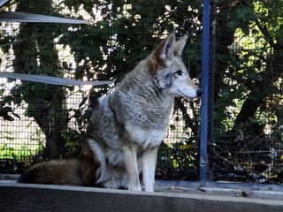 Ein Koyote im CuriOdyssey © donjd2